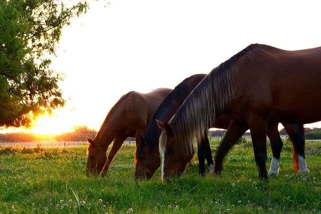 comportement alimentaire des chevaux au paturage