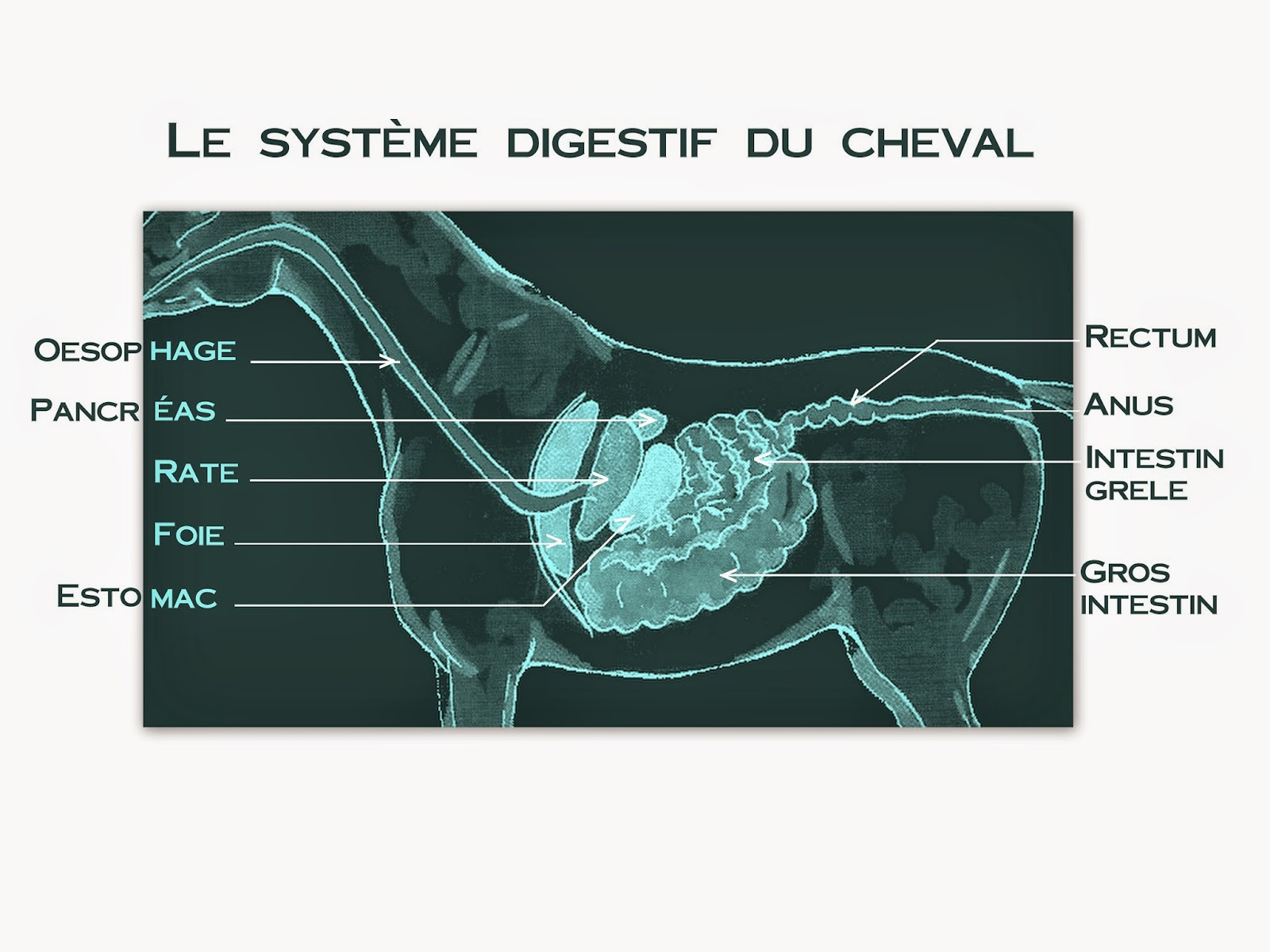 systeme digestif cheval